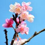 沖縄に咲く桜のつぼみ