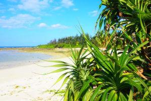 浜辺に群生するアダン(海垣)の画像