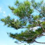 青空の下の琉球松